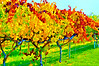 ART - Vineyard Impressions - Autumn #59 - 2011
