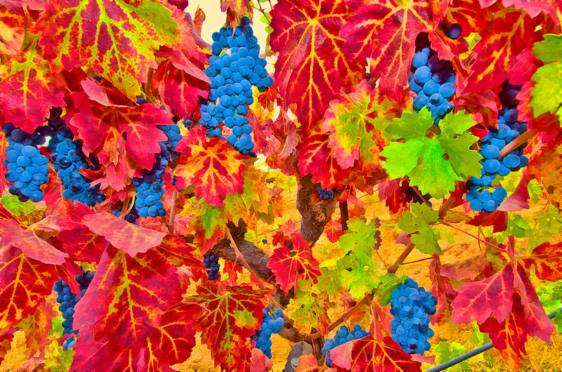 ART - Vineyard Impressions - Autumn #74 - 2012