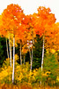 Aspen Stand in Autumn # 3