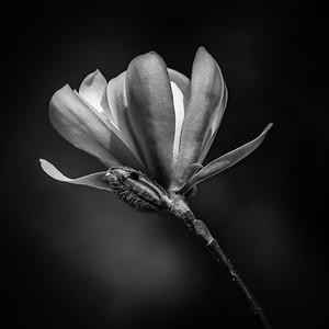 Magnolia LR IR 0721
