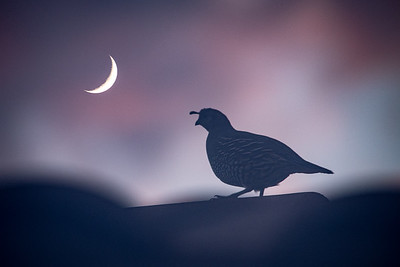 Quail and Crescent Moon