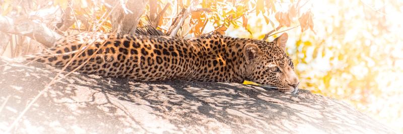 Leopard 1820