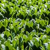Tobacco Green