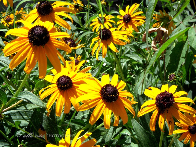 Black-eyed Susan #2