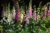Foxgloves in St  James Park, London