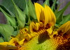 Sunflower #3