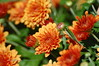 Bright Spot - Orange Mums