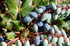 Leatherleaf mahonia berries