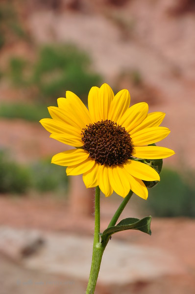 Palo Duro Sunflower #2