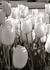 White Tulips B&W