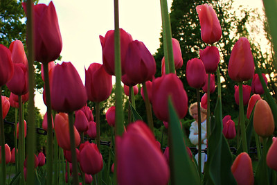 Mom is probably there checking out the tulips!