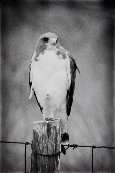 White Tailed Hawk BW