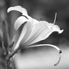 Daylily in Black and White