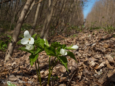 This scene is alongside a rail trail from Paris to Cambridge Ontario.    The floor of the bush on the west side of the trail is filled with these Trilliums.