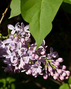 The Lilac bush is full this year. The air is filled with them as well.