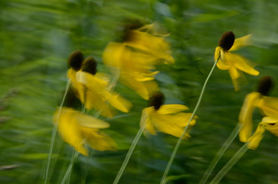 Prarie Coneflowers in the Wind