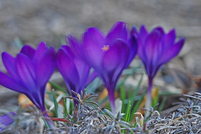 Quaking Crocuses