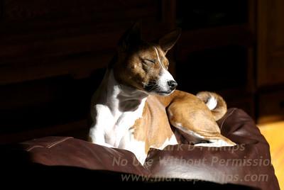 Bsenji Dog in sun in Colorado