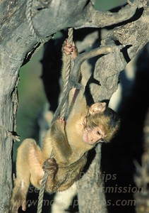 Baby Barbary Ape (Rock Ape) climbs a rope in tree at Apes Den on Gibraltar.