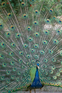 Peacock at Lowry Park Zoo in Tampa, Florida