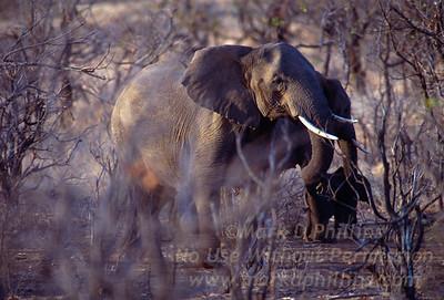 Elephants in Kruger National Park in South Africa