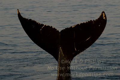 Humpback whale dives off Cape Cod showing tail during whale watching trip on August 31, 2010 from the Provincetown Dolphin Fleet VIII.