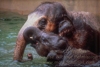 Baby Elephant and mother at Lowry Park Zoo in Tampa, Florida