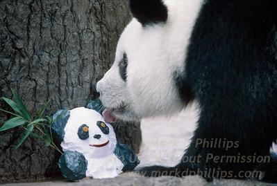Panda Ling Ling celebrates her birthday at Busch Gardens in Tampa, Florida
