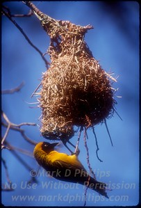 Weaver builds its nest in Kruger Park, South Africa.