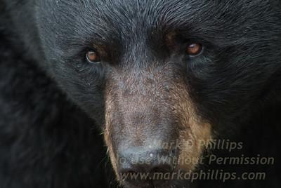 Black Bear on Grandfather Mountain in North Carolina