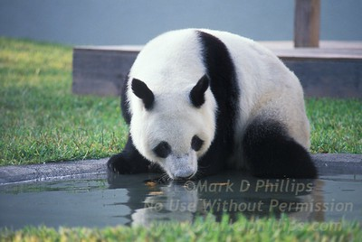 Panda Ling-Ling Busch Gardens Tampa Florida zoo animals