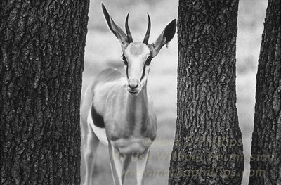 A Thomson Gazelle hides behind trees at Busch Gardens in Tampa, Florida. Riding with the feed truck crew, captured an amazing array of images.