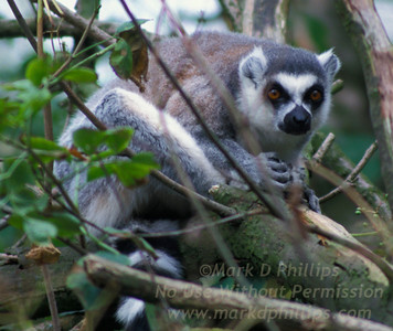 Ring tailed Lemur hide on a tree branch at Fota Wildlife Park near Cork, Ireland.
