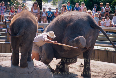 Elephants at Lowry Park Zoo in Tampa, Florida, during a performance for visitors.