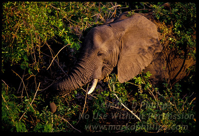 An Elephant in the brush in Kruger National Park in South Africa