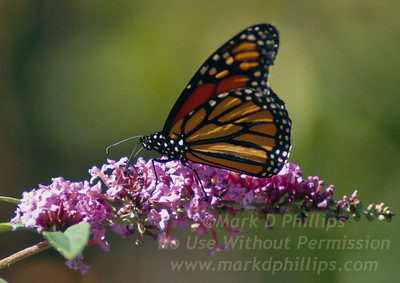 Monarch Butterfly atop a flowering bush on Martha's Vineyard, Massachusetts