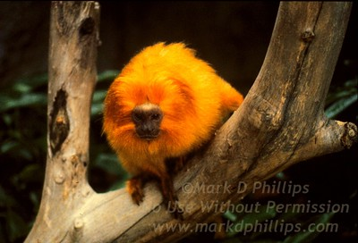 Golden maned Tamarind at Lowry Park Zoo in Tampa, FL
