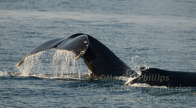 Humpback whale dives off Cape Cod showing tail while a second swims beside during whale watching trip on August 31, 2010 from the Provincetown Dolphin Fleet VIII.