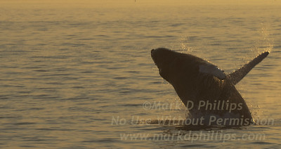 Baby Humpback whale jumps from the water off Cape Cod during whale watching trip on August 31, 2010 from the Provincetown Dolphin Fleet VIII.