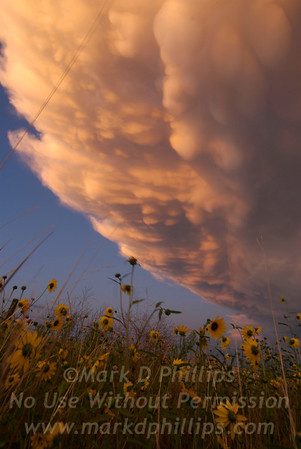 Thunderhead clouds over field of flowers in Peyton, Colorado.