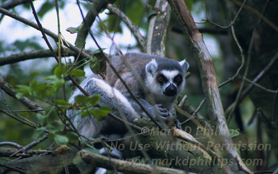 A ring tailed Lemur sits among the trees in Ireland zoo.