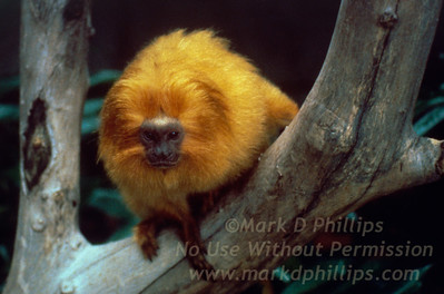 A Golden Lion Tamarin clings to a tree branch at Lowry Park Zoo in Tampa, Florida. The golden lion tamarin may be the most beautiful of the four lion tamarin species, with thick rings of hair reminiscent of Africa's great cats.