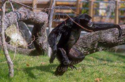 Male chimpanzee at Lowry Park Zoo in Tampa, Florida before opening.