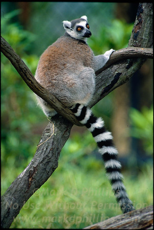 Ring Tailed Lemur at Lowry Park Zoo in Tampa, Florida