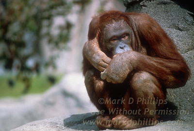Orangutan at Lowry Park Zoo in Tampa, Florida