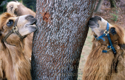 Bactrian Camels chew on opposite sides of a  tree at Lowry Park Zoo in Tampa, Florida