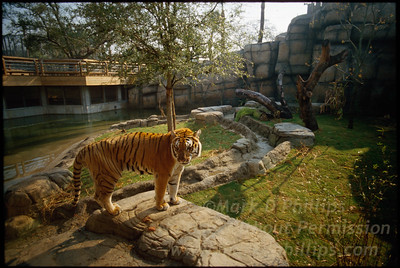 Bengal Tiger in his new habitat at Lowry Park Zoo in Tampa, Florida