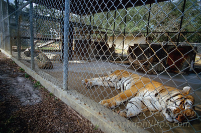 Bengal Tiger in the old Zoo in Tampa before move to Lowry Park Zoo in Tampa, Florida