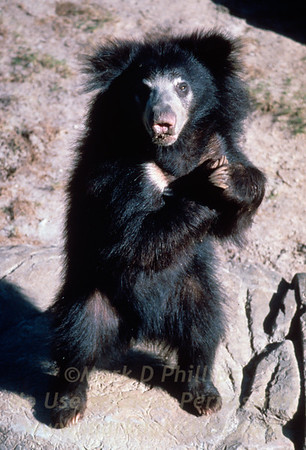 Sloth bear at Lowry Park Zoo in Tampa, Florida