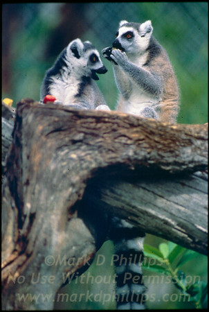 Ring Tailed Lemurs at Lowry Park Zoo in Tampa, Florida